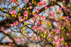 Pink Dogwood Closeup Royalty Free Stock Image