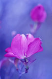 Pink dogwood flower abstract Stock Photography