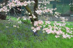Pink dogwood flowers in the spring royalty free stock photos