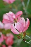 Pink Dogwood Flower Blossoms Stock Photos
