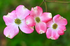 Pink Dogwood Flowers Royalty Free Stock Image
