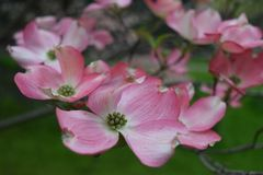 Pink dogwood flowers in the spring royalty free stock images