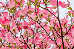 Pink dogwood flowers Stock Photography