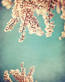 Pink dogwood grunge background Royalty Free Stock Photos