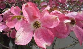 Pink Dogwood Stock Photography