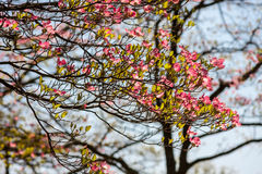 Pink Dogwood on Sunny, Spring Day Royalty Free Stock Photography