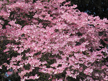 Pink Dogwood Tree. A pink dogwood tree (Cornus florida) has a mass of pink flowers royalty free stock image