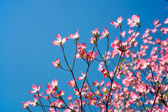 Pink dogwood tree Royalty Free Stock Images