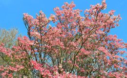 Pink Dogwood Tree in full Bloom. A gorgeous pink dogwood tree in full bloom framed against a deep blue sky Royalty Free Stock Photo
