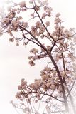 Flowering tree in the early spring royalty free stock images