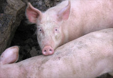 Pink domestic pig Stock Images