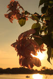 Pink  Dona Luz Flower in Sunset Stock Photos