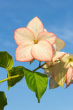 Pink  Dona Luz ( Queen Sirikit ) Flower with sky Stock Photos