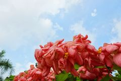 Pink Dona Queen Sirikit Flower on blue sky and sunlight background in the garden. Red flowers on blurred branch and leaves background, Pink Dona Queen Sirikit Stock Image