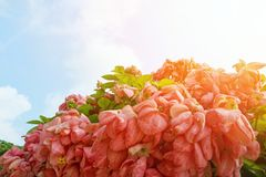 Pink Dona Queen Sirikit Flower on blue sky and sunlight background in the garden. Red flowers on blurred branch and leaves background, Pink Dona Queen Sirikit Royalty Free Stock Photography