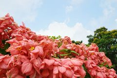 Pink Dona Queen Sirikit Flower on blue sky and sunlight background in the garden. Red flowers on blurred branch and leaves background, Pink Dona Queen Sirikit Stock Photography