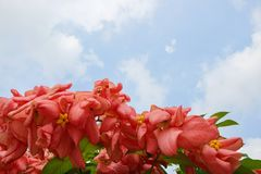 Pink Dona Queen Sirikit Flower on blue sky and sunlight background in the garden. Red flowers on blurred branch and leaves background, Pink Dona Queen Sirikit Stock Photos