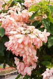 Pink Dona Queen Sirikit flower Stock Images