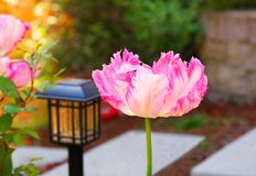 Pink Double Bloom Tulip Fringed Flower. Garden landscaping stock image