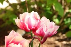 Pink Double Bloom Tulip Fringed Flower. Garden landscaping stock photos