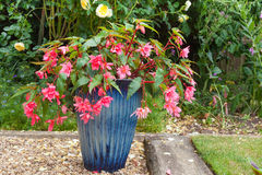Pink double fuchsia plant in a blue china pot. Beautiful blue pot with pink double fuchsia flowers Stock Photography