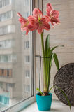 Pink double Hippeastrum Royalty Free Stock Photography