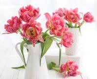 Pink double peony tulip Stock Image