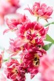 Pink double peony tulip Stock Photography