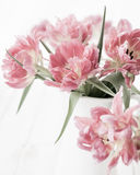 Pink double peony tulip Royalty Free Stock Photography