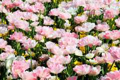 Pink double tulips. A flowerbed in spring of beautiful pink double tulips Royalty Free Stock Image