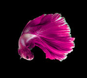 Pink dragon siamese fighting fish, betta fish isolated on black. Background royalty free stock images