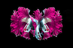 Pink dragon siamese fighting fish, betta fish isolated on black. Background.3 Pink dragon siamese fighting fish royalty free stock images