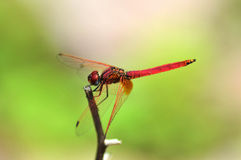 Pink Dragonfly near lake Royalty Free Stock Photos