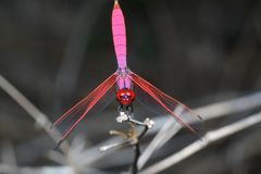 Pink dragonfly on stick bamboo in forest at thailand. Background insect green beautiful blurred nature wild color summer closeup natural two macro animal pairs stock image