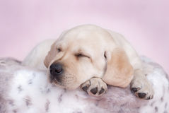 Pink dreams. Sleeping labrador puppy at pink background Stock Photography