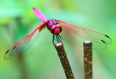 Pink and Red Dragonfly Stock Photo