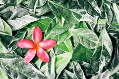 Pink drenched frangipani or Plumeria on green leaves Stock Photo