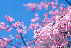 Pink drooping cherry blossoms. Called Yae-beni-shidare bloom Stock Images