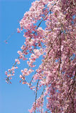 Pink drooping cherry blossoms. Called Yae-beni-shidare bloom Royalty Free Stock Photography