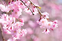 Pink drooping cherry blossoms Stock Photography
