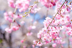 Pink drooping cherry blossoms. Called Yae-beni-shidare bloom Royalty Free Stock Images