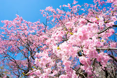 Pink drooping cherry blossoms. Called Yae-beni-shidare bloom Royalty Free Stock Photos
