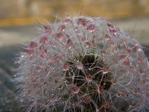 Pink droplets at dandelion Stock Image