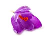 Pink Dutch spring crocus flower Royalty Free Stock Images