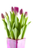 Pink Dutch tulips Royalty Free Stock Photo