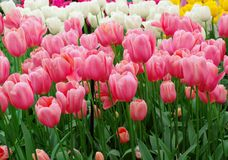 Pink dutch tulips. A lot of white and pink tulips in a garden. Kuekenkhof, Holland, Europe Stock Image