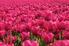 Pink dutch tulips. In a field Royalty Free Stock Photos