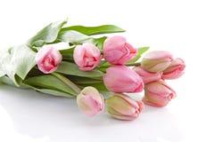 Pink Dutch tulips in closeup Stock Photos