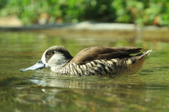Pink eared duck. The floating pink eared duck Royalty Free Stock Photography