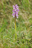 Pink Early Purple Orchid Royalty Free Stock Photography